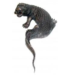 Bronze animalier :Crocodile en bronze BRZ209 ( H .58 x L :33 Cm ) Poids : 4 Kg
